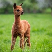 40 Cute Alpaca Photos That Will Make Your Day