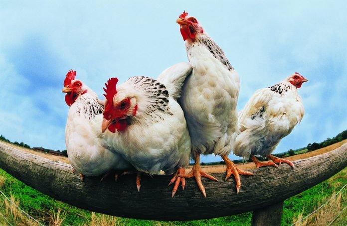 Four Chickens on Fence