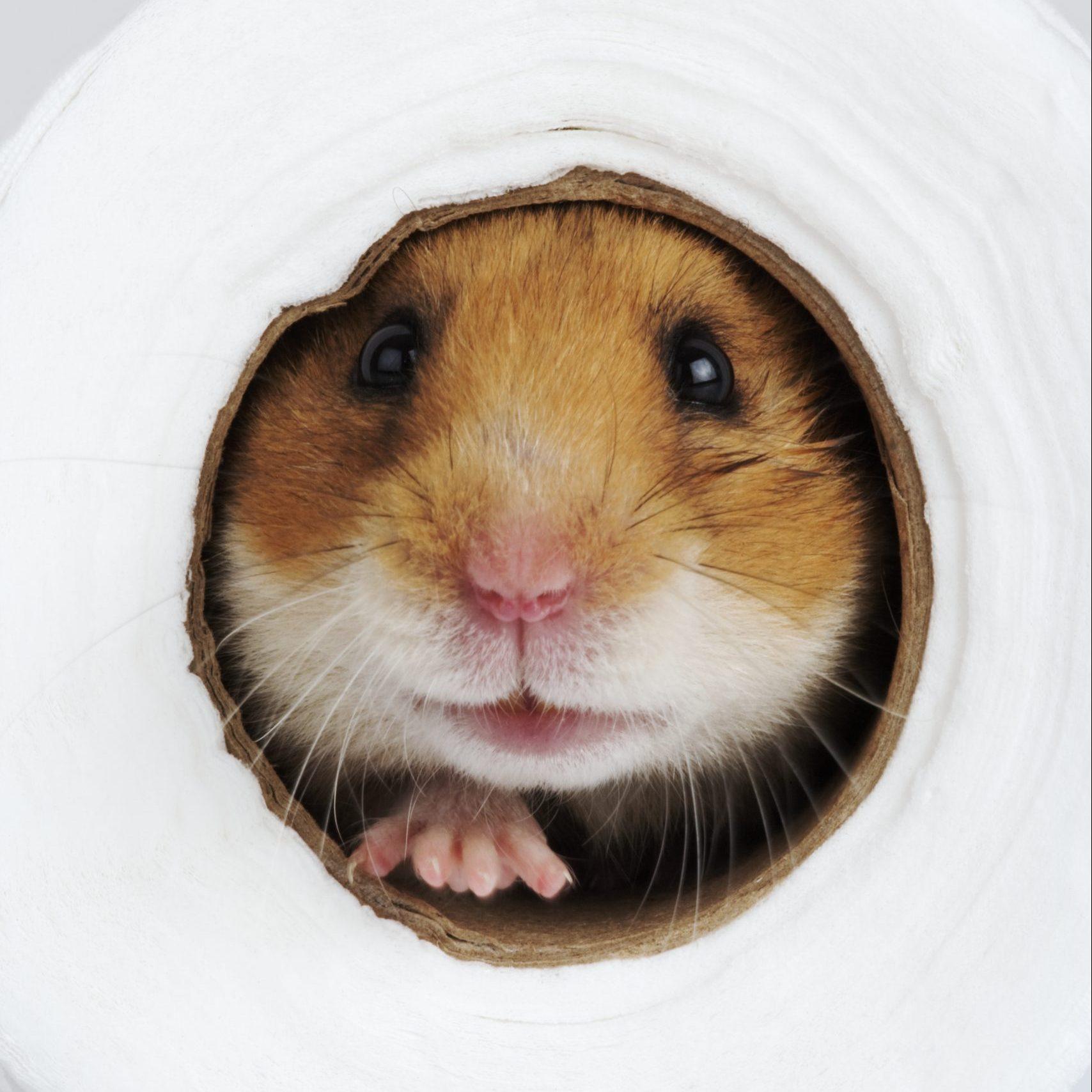 Syrian Hamster inside toilet paper roll, studio shot