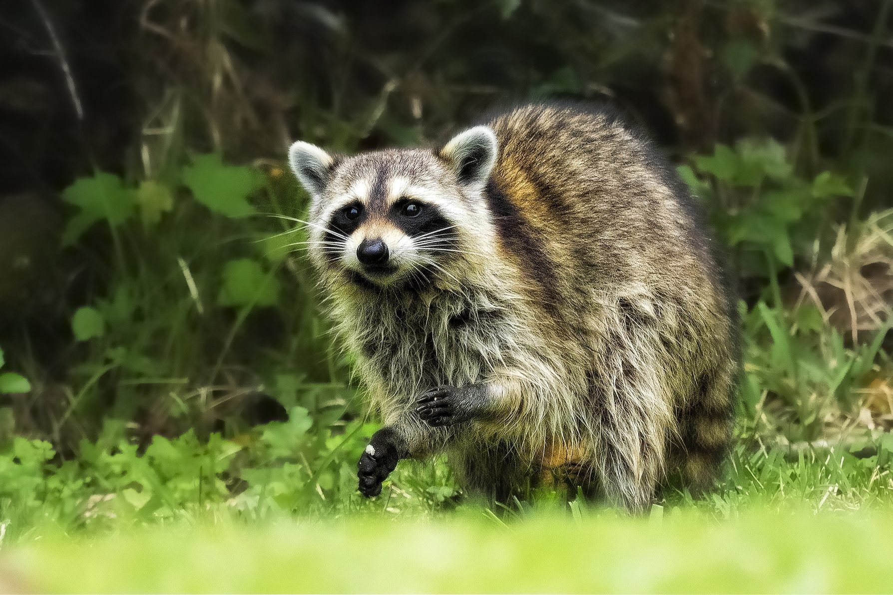 An urban raccoon recons backyards in preparation for the night's raid.