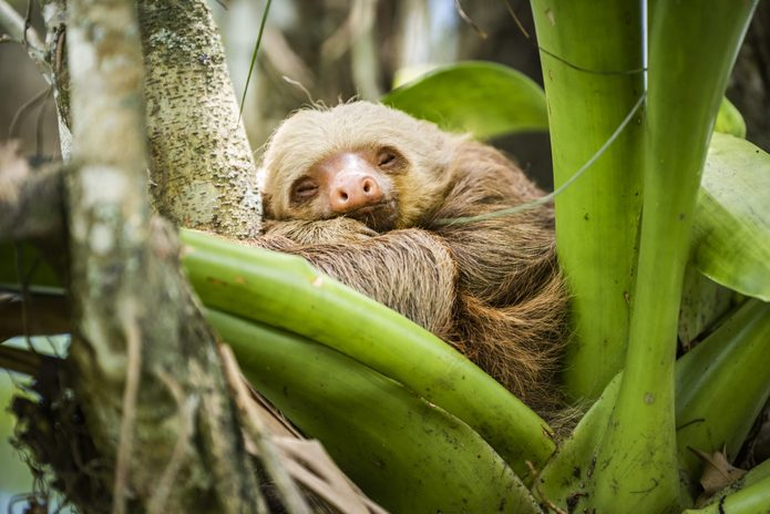 Hoffmann's two-toed sloth (Choloepus hoffmanni), La Fortuna, Arenal National Park, Alajuela Province, Costa Rica, Central America