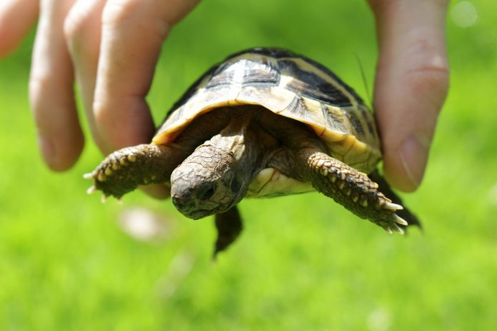 Image of young tame and friendly baby pet Russian Hartsfield diet / Hermann's tortoise being held in hand outdoors in garden sunshine for vitamins above green lawn grass, baby tortoise in fingers to show size and scale, with head, legs and claws hanging