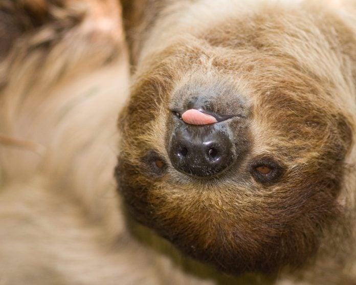 Linnaeus's Two Toed Sloth, Rasping