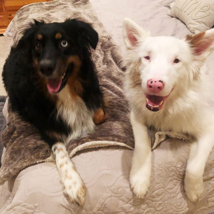 two austrailian shepherds smiling, laying together on a bed