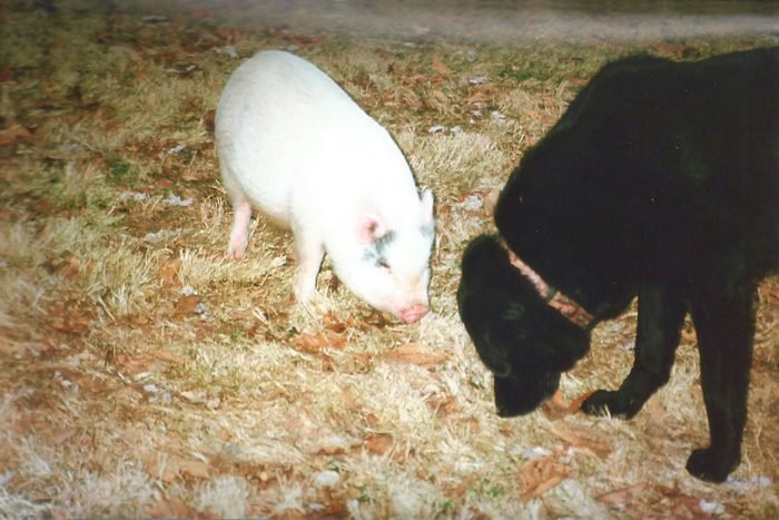 a small pig and a black dog