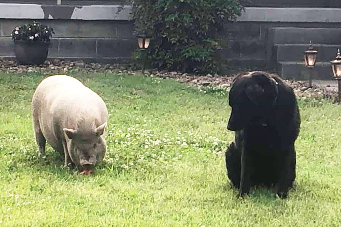 a pig and a black dog in the grass in a backyard