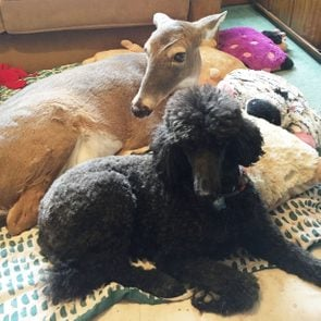 a deer and a poodle sit together on the floor