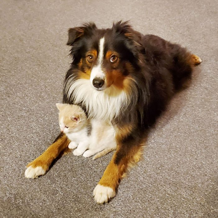 dog looking at the camera with a kitten close to its chest between his front legs