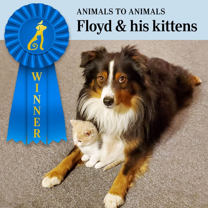 Pet Pals Winner, Animals to Animals category. Floyd the dog looking at the camera with a kitten close to its chest between his front legs.