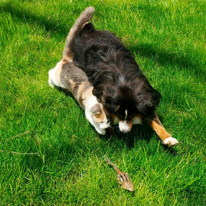 dog and cay vying for a chipmunk in the grass