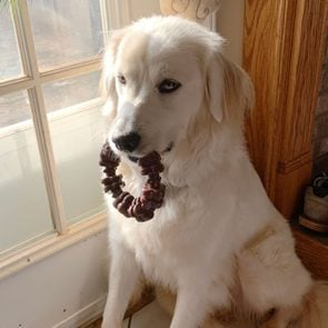 a dog sits holding a toy in its mouth