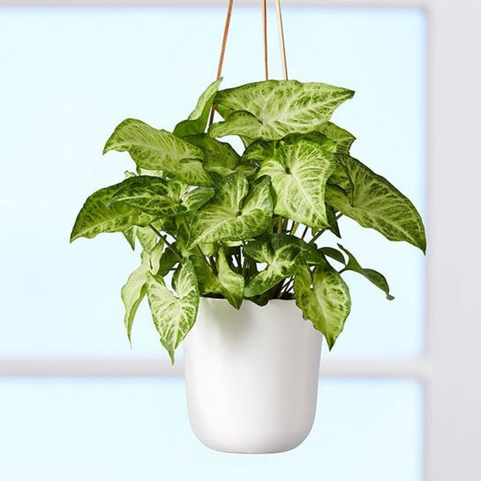 Arrowhead Hanging Plant
