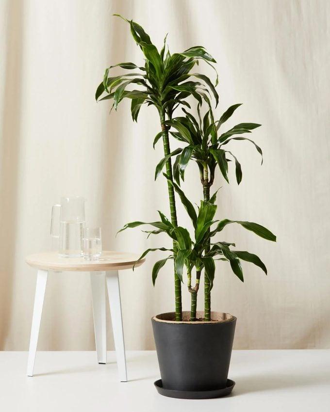 Dracaena Dorado air purifying tree