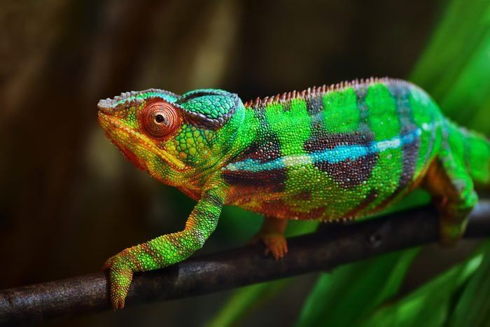 colorful panther chameleon on a branch