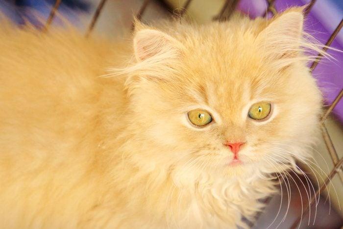 Turkish Angora Cat Portrait