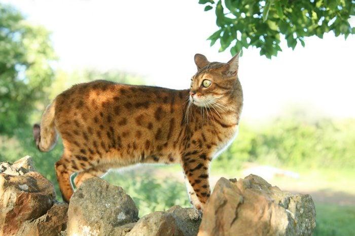orange bengal cat