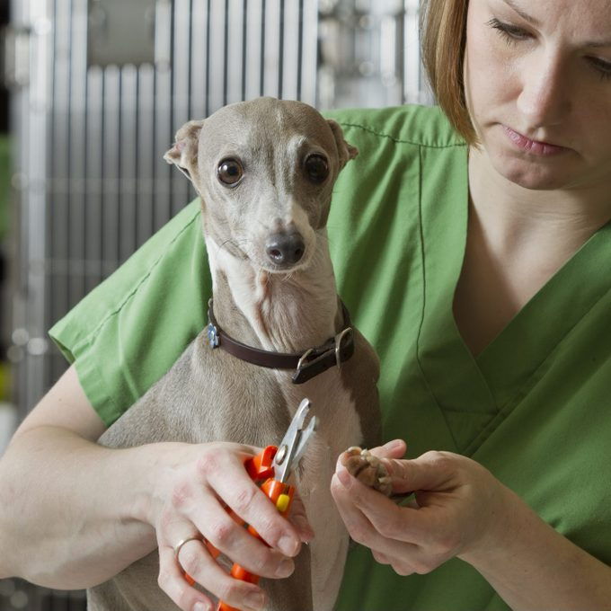 Veterinary cutting a dogs nails