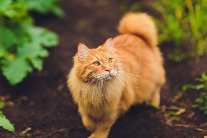 Lovely thoroughbred redhead kitten. Breed Kurilian Bobtail. Hypoallergenic breed of cats. green grass walk