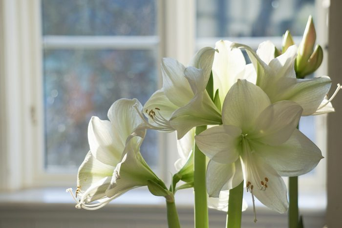 White Amaryllis Against Window