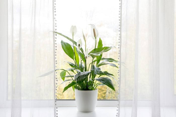 Air puryfing house plants in home concept. Spathiphyllum are commonly known as spath or peace lilies growing in pot in home room and cleaning indoor air.