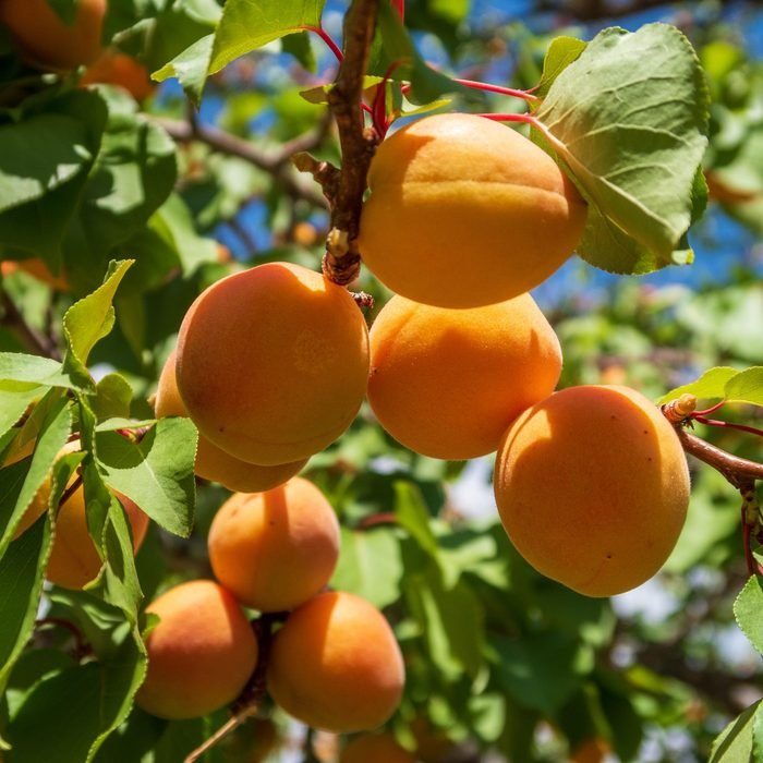 Close Up Of Ripe Apricots Growing On A Tree At Capitol Reef National Park In Utah