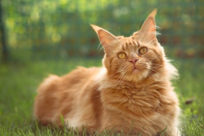 Female red solid maine coon cat lying on green grass. Beautiful brushes on ears. Closeup profile view