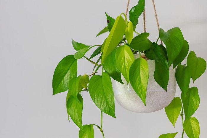 golden pothos indoor plant vine in a hanging pot near doorway