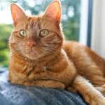 10 Orange Cat Breeds You'll Fall in Love With