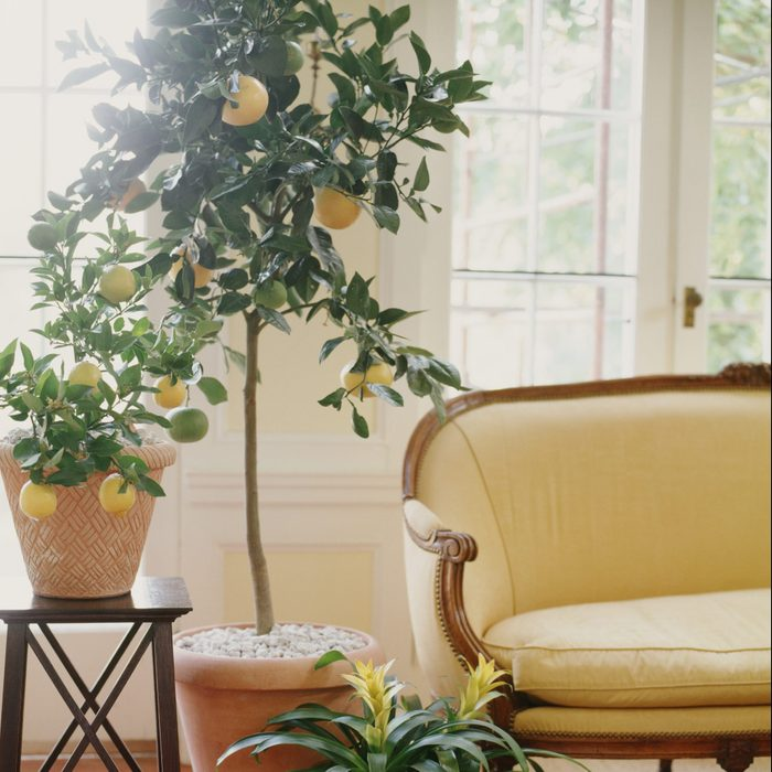 fruit trees you can grow inside