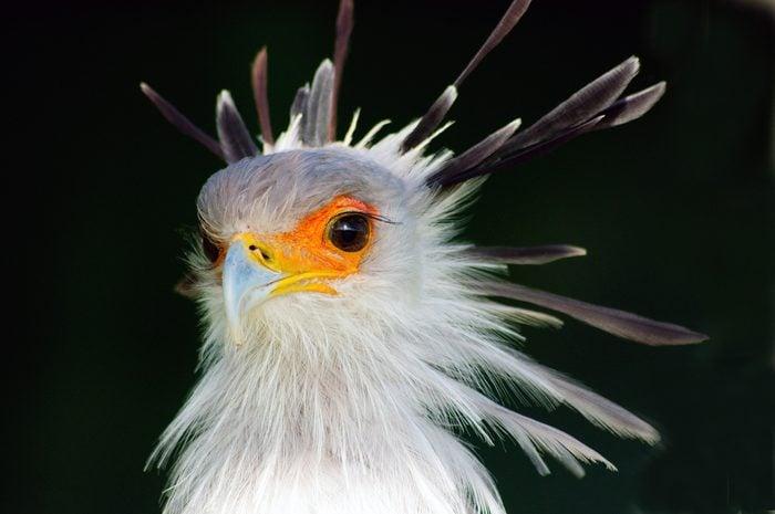 Secretary Bird, Western Cape, South Africa