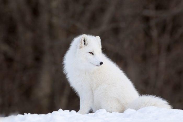 Portrait of Arctic Fox