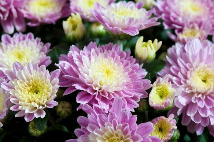 Chrysanthemum, close up