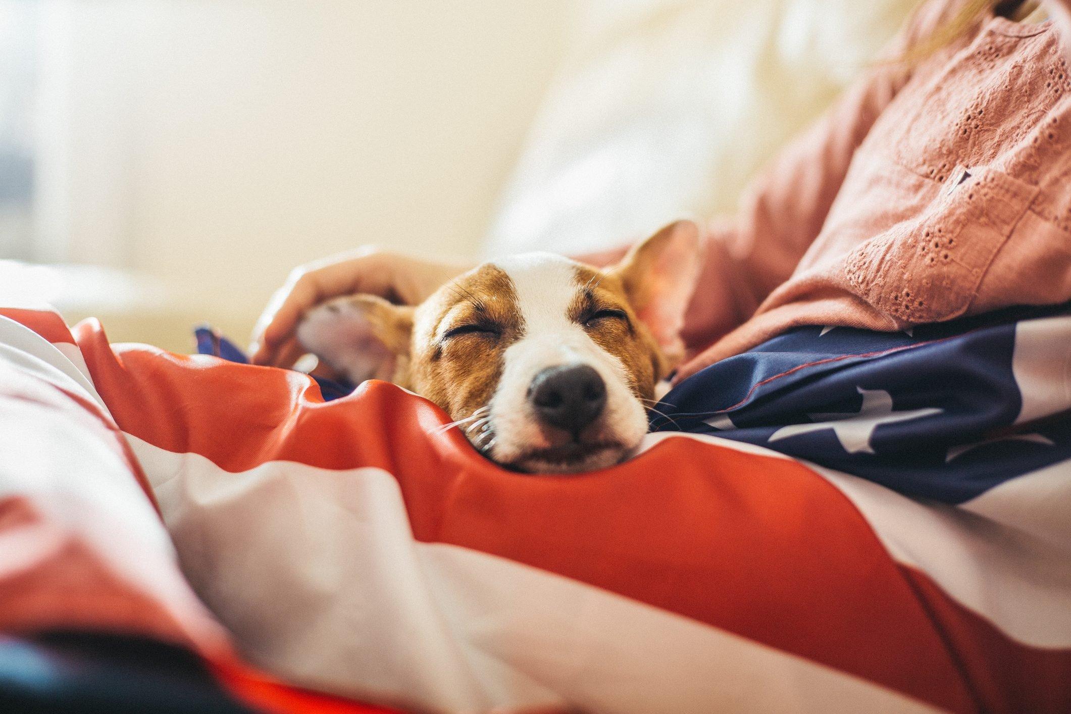 Jack russel puppy sleeping on American flag