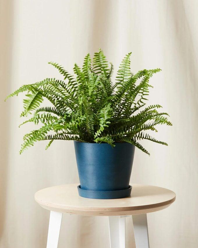 air purifying Kimberly queen fern
