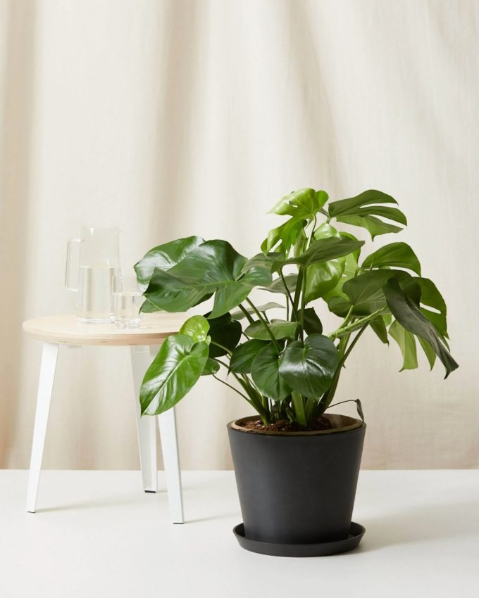 Monstera air purifying plant