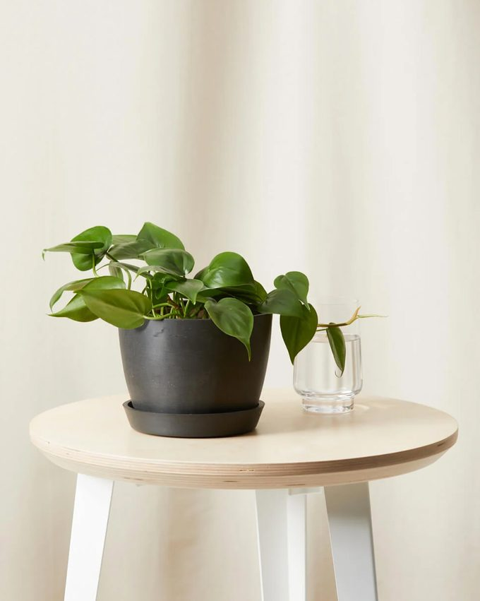 air purifying Philodendron heartleaf