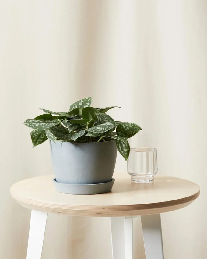 Silver pothos air purifying plant