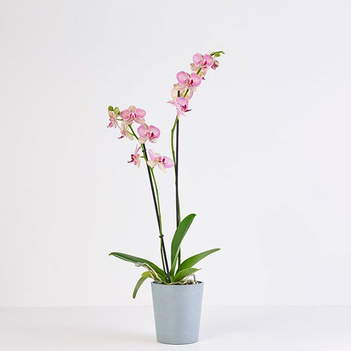 Tropicali Plant