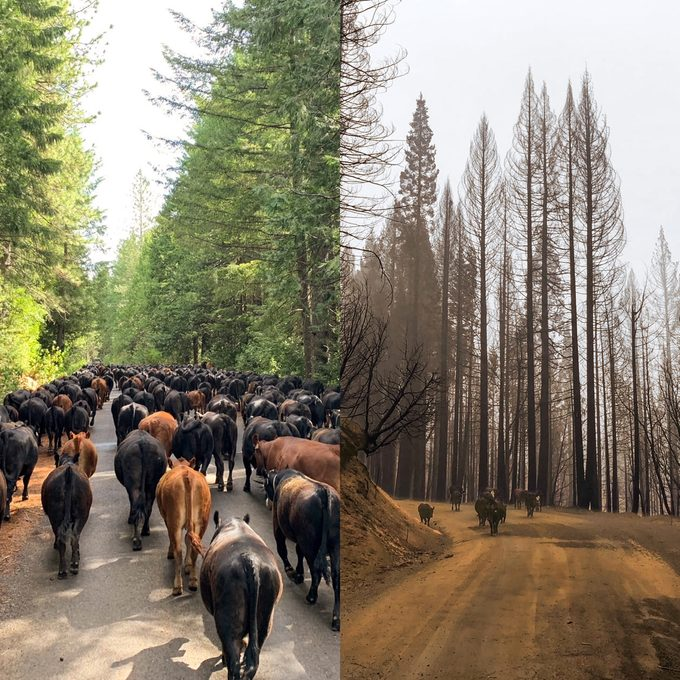 diptych of cattle walking through the forest before and after the fire