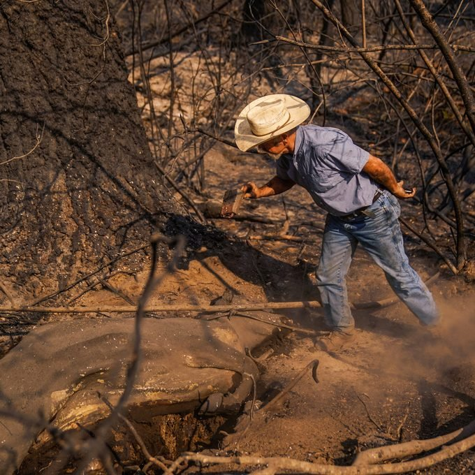 Fifth generation cattle rancher Dave Daley grabs a cow bell off of the carcass of a dead cow as he searches for cattle that were lost in the North Complex West Fire in the Tahoe National Forest