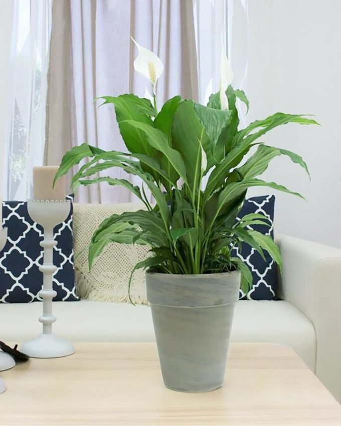 air purifying white Peace lily