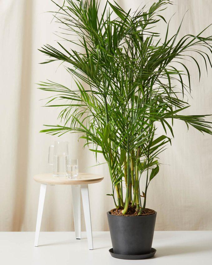 Air purifying Bamboo palm