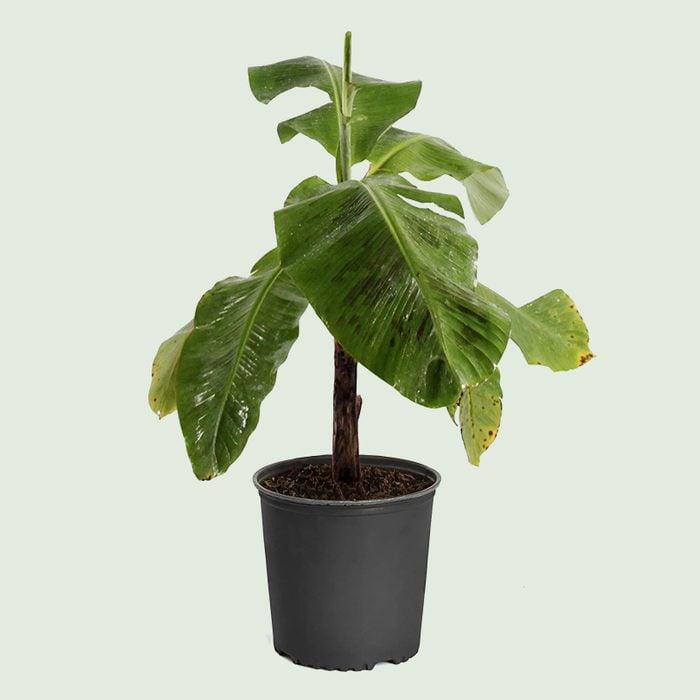Super dwarf Cavendish banana tree