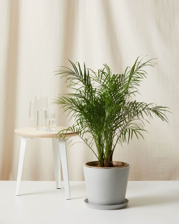 air purifying Date palm plant