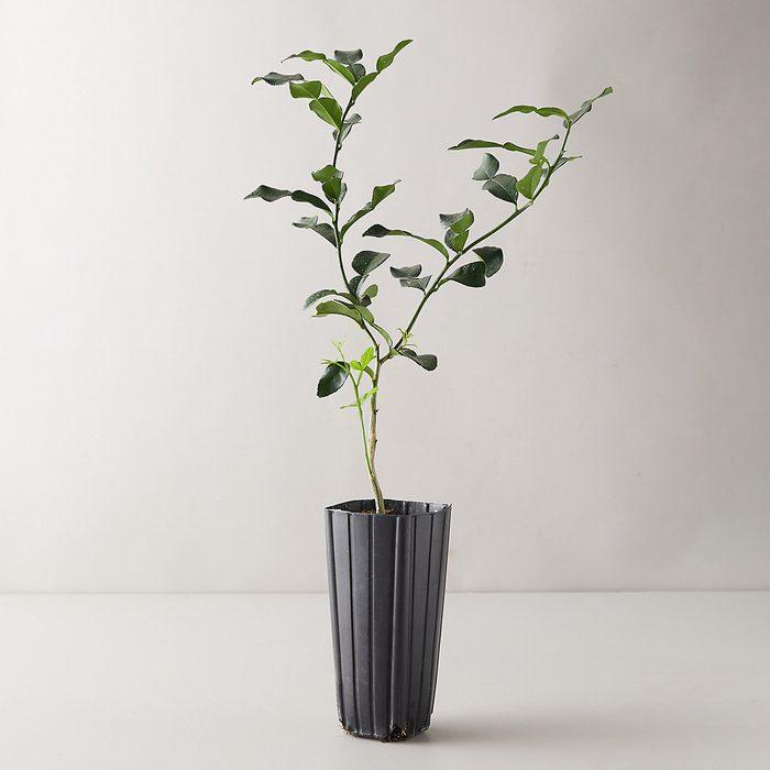 Makrut lime tree