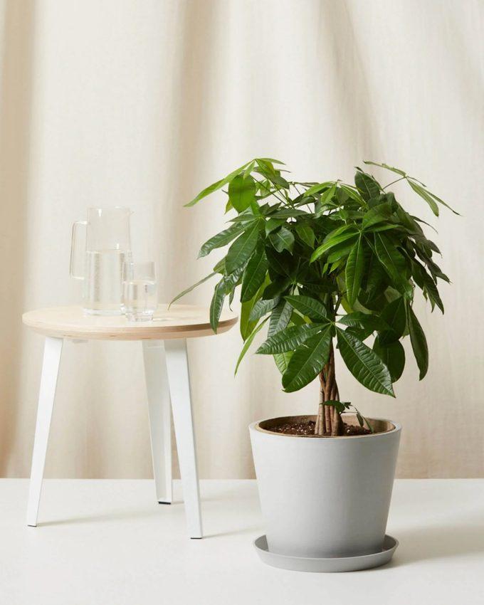 air purifying Money tree