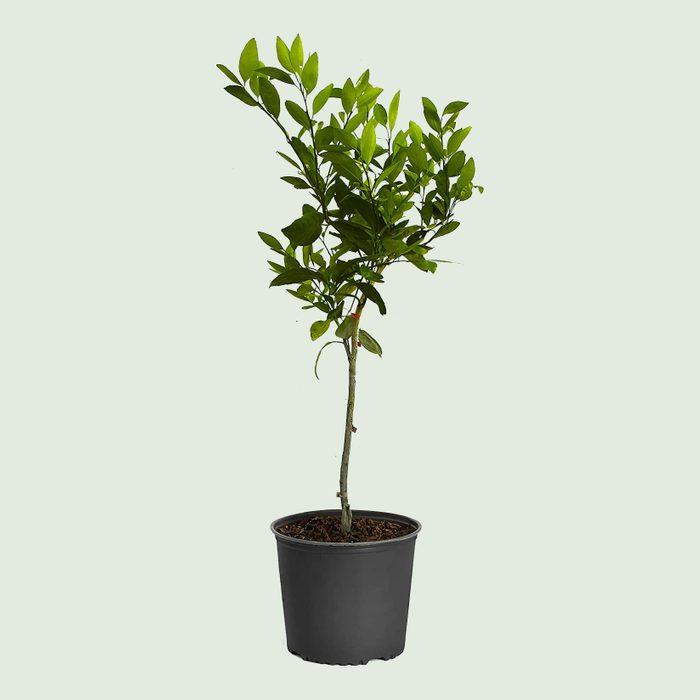 Calamondin dwarf orange tree