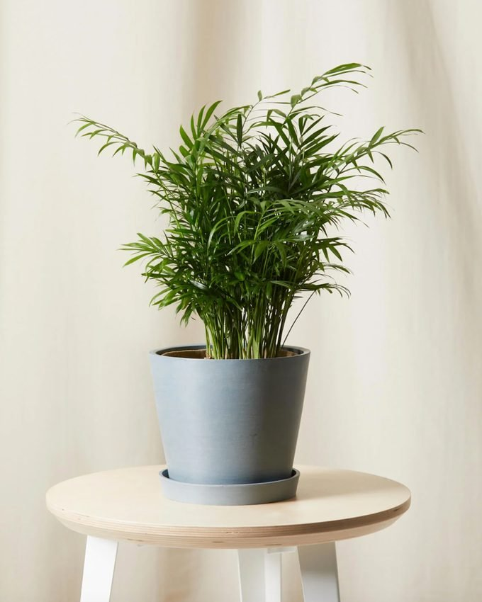 air purifying Parlor palm