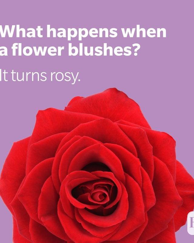Rose on purple background with rose joke