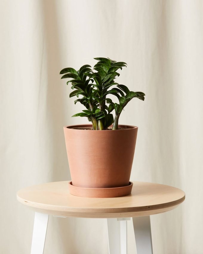 air purifying Zenzi plant